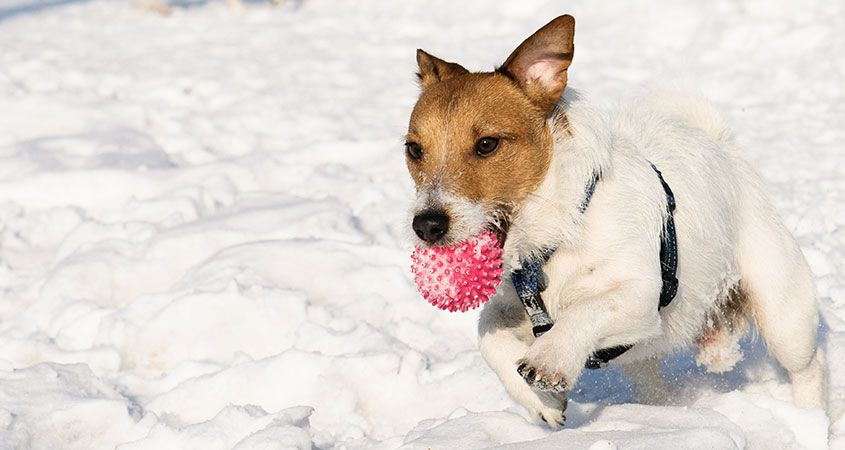 Does your dog love the cold? It's not all about genetics
